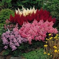 3  Ready Potted 1 Litre Pot  ASTILBE  MIXED
